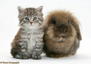 Maine Coon kitten, Goliath, with Lionhead-cross rabbit